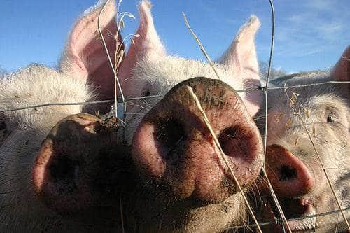 Porc cochon