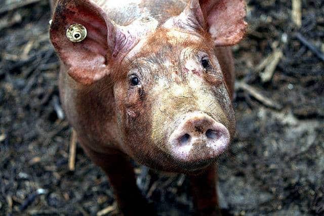 Du porc dans un produit Kenza halal