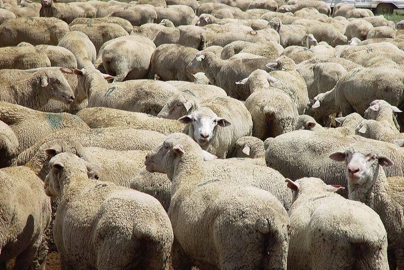 Mouton de l'aïd el adha