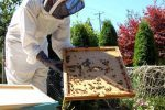 Londres : des ruches d'abeilles sur les toits des mosquées