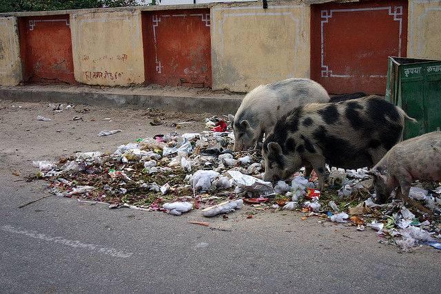 porc-ordures