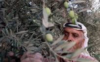 A Palestinian man picks olives during th