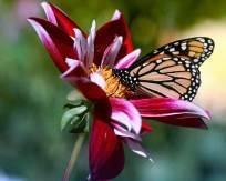 fleur-et-papillon-253d5a2
