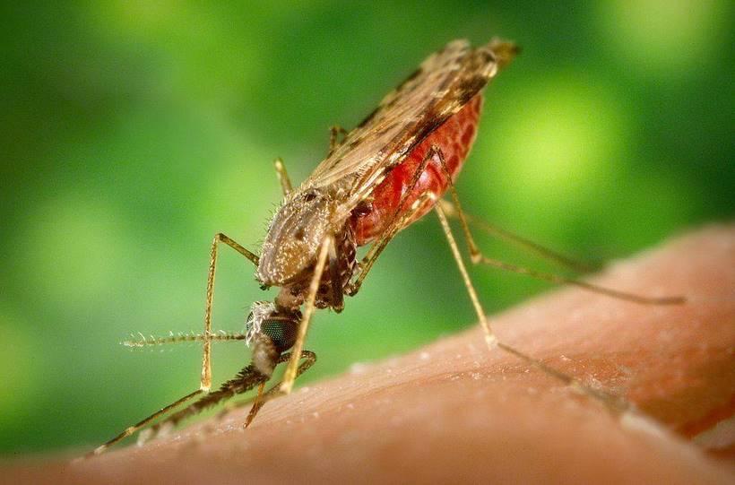 1024px-Anopheles_albimanus_mosquito