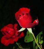 Des étudiants canadiens tendent des roses pour inviter au dialogue