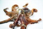 La création est Ajib #10 Le poulpe et ses 9 cerveaux!